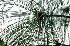 Planta del papiro con las hojas en el fondo aislado blanco para el contexto verde del follaje imagen de archivo