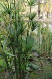 Planta del papiro del Cyperus en el jardín fotos de archivo
