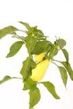 Planta del paprika Imágenes de archivo libres de regalías