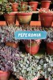 Planta del Peperomia Foto de archivo libre de regalías