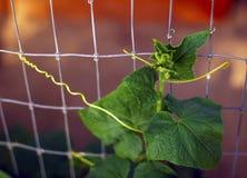 Planta del pepino en el jardín imagenes de archivo