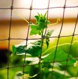 Planta del pepino en el jardín imagen de archivo libre de regalías