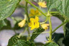 Planta del pepino que crece en campo y polinizada con la abeja Imagen de archivo