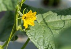 Planta del pepino que crece en campo y polinizada con la abeja Foto de archivo libre de regalías