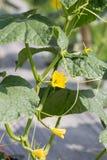 Planta del pepino que crece en el campo y polinizada con la abeja Fotos de archivo libres de regalías