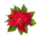 Planta del poinsettia de la Navidad aislada en blanco Imagenes de archivo