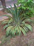 Planta del pulpo en jardín indio fotografía de archivo libre de regalías