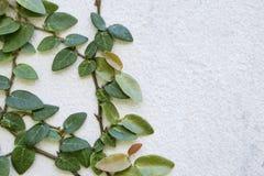 Planta del pumila de los ficus que crece en la pared del cemento blanco imagen de archivo libre de regalías