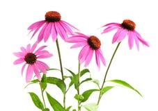 Planta del purpurea del Echinacea Foto de archivo libre de regalías