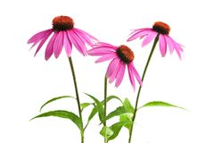 Planta del purpurea del Echinacea Fotografía de archivo