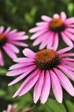 Planta del purpurea del Echinacea Fotos de archivo libres de regalías