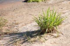 Planta del río Colorado cerca del agua Foto de archivo libre de regalías