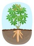 Planta del ?rbol de la mandioca, ra?z subterr?neo de la tapioca, rizomas aislados en el fondo blanco, ra?ces de la mandioca de la ilustración del vector
