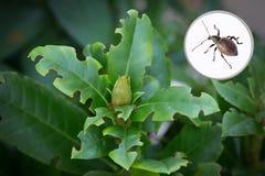 Planta del rododendro con daño de un insecto del otiorhynchus imagenes de archivo