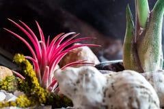 Planta del rojo del ionantha del Tillandsia Fotografía de archivo