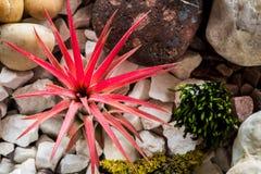 Planta del rojo del ionantha del Tillandsia foto de archivo libre de regalías