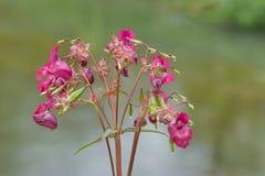 Planta del rosa del glandulifera de Impatiens Fotos de archivo