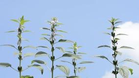 Planta del sésamo debajo del cielo Foto de archivo