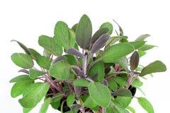 Planta del sabio púrpura Imagen de archivo