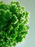 Planta del Selaginella Imagen de archivo