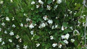 Planta del Snowberry con las bayas blancas almacen de metraje de vídeo
