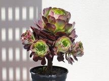 Planta del Succulent del Aeonium Fotografía de archivo