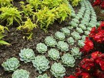 Planta del Succulent de Domfront imagenes de archivo