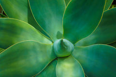 Planta del Succulent del attenuata del agavo imagen de archivo