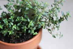 Planta del tomillo en Clay Pot fotografía de archivo