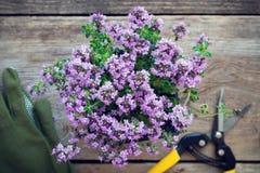 Planta del tomillo Guantes y pruner en la tabla, no en foco Fotos de archivo