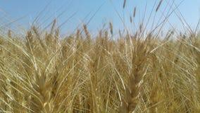 Planta del trigo Foto de archivo libre de regalías