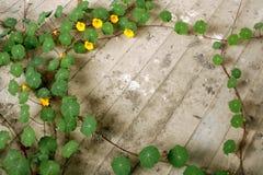 Planta del Tropaeolum Fotos de archivo