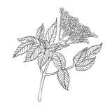 Planta del vector - baya del saúco Imágenes de archivo libres de regalías