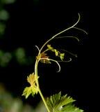 Planta del vino Imagen de archivo