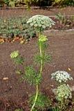Planta del visnaga de Ammi fotos de archivo