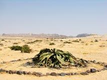 Planta del Welwitschia Fotografía de archivo