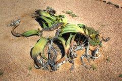 Planta del Welwitschia en desierto namibiano Imagenes de archivo
