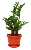 Planta del zamiifolia de Zamioculcas imágenes de archivo libres de regalías