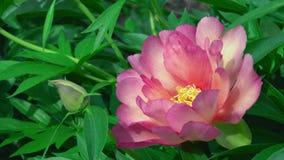 Planta delicada de florescência cor-de-rosa fascinante do arbusto da natureza da flor macia da flor no jardim botânico em 4k pert video estoque