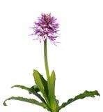 Planta desnuda de la orquídea del hombre aislada sobre el blanco - italica de Orchis Imágenes de archivo libres de regalías
