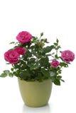 Planta diminuta da casa de Rosa Fotografia de Stock