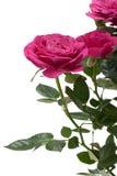 Planta diminuta da casa de Rosa imagens de stock royalty free