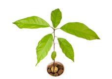Planta do abacate Fotos de Stock Royalty Free