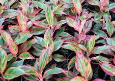 Planta do Aglaonema (sempre-verde chinês) Imagem de Stock