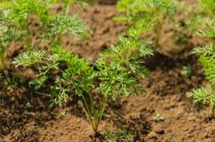 Planta do aipo Imagens de Stock Royalty Free