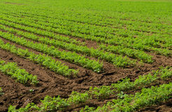 Planta do aipo no campo Imagem de Stock