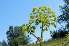 Planta do aipo selvagem da angélica Fotos de Stock