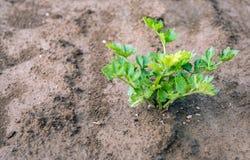 Planta do aipo vermelho que cresce no solo do fim Fotografia de Stock Royalty Free