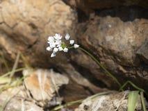 A planta do alho selvagem esforça-se para sobreviver no terreno rochoso Um sobrevivente apesar da dificuldade foto de stock