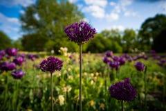 Planta do allium do pilão Foto de Stock Royalty Free